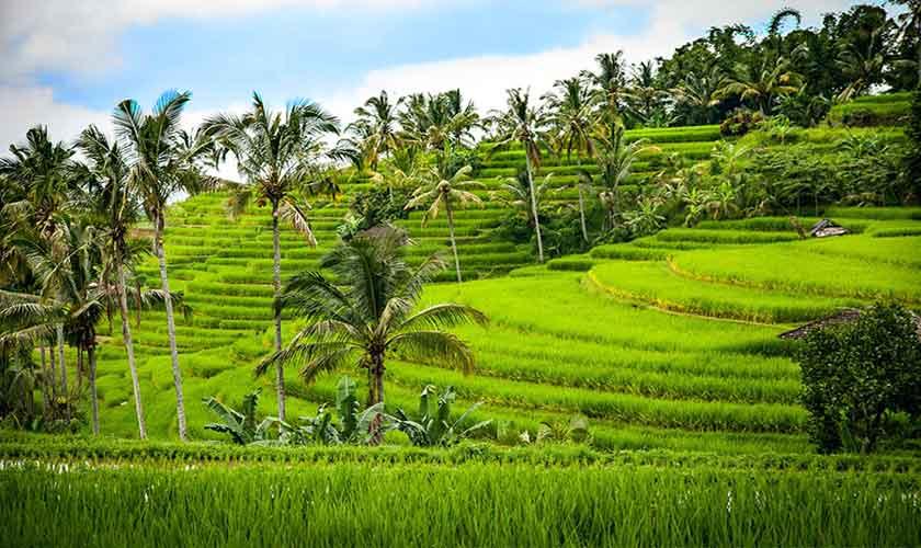 Impression Reisfelder Bali
