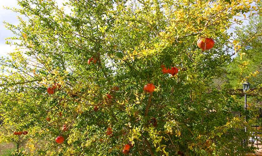Granatapfelbaum Finca Mallorca PM 6620