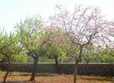 Mandelbäume Finca Mallorca mit Pool PM 410