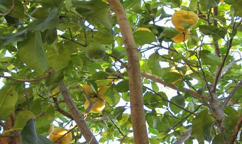 Zitronen Ferienhaus Mallorca Nordküste PM 460