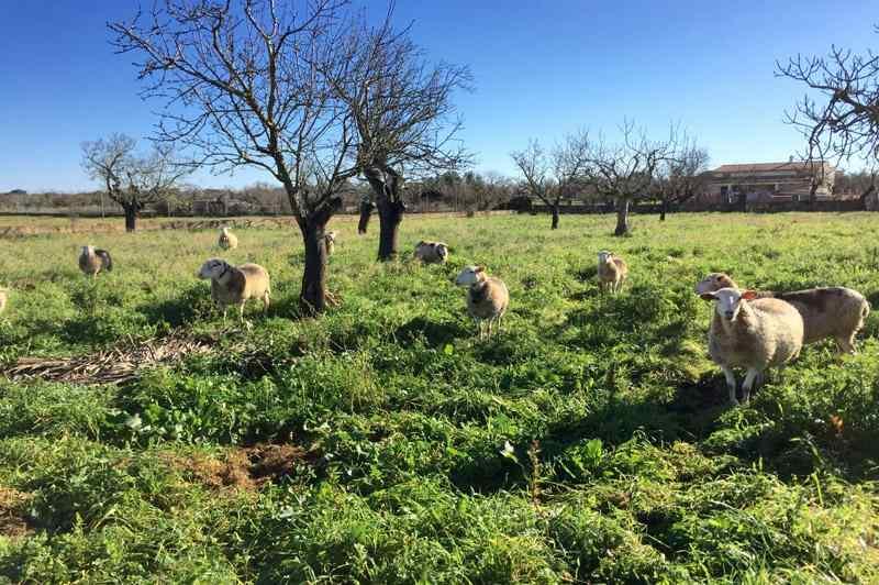 Schafe bei der Ferienfinca Mallorca Ostküste PM 6343 für 6 - 7 Personen